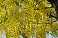 Flowering tree- Indian laburnum-Cassia fistula Royalty Free Stock Photo