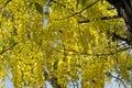 Flowering tree- Indian laburnum-Cassia fistula Royalty Free Stock Photo