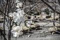 Flowering tree in nursery garden Royalty Free Stock Image