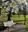 Flowering tree and park bench Royalty Free Stock Photo