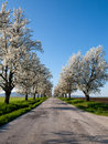 Flowering trees country road lined with beautiful cherry Royalty Free Stock Photos