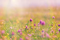 Flowering trfolium red clover i n a madow Royalty Free Stock Photo