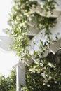 Flowering vine growing on trellis. Royalty Free Stock Photo