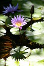 Flowering water lilies Stock Photos