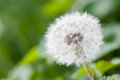 Flowering white dandelion over green background Royalty Free Stock Photo