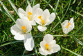 Flowering white Spring Crocus Royalty Free Stock Photo