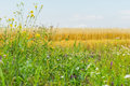Flowering wildflowers and Motley grass in sunny summer day, growing along roadsides of rye field. Rural background Royalty Free Stock Photo