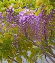 Flowering wisteria tree, hanging lilac flowers, China
