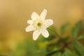 Flowering wood anemone anemone nemorosa close up of a Royalty Free Stock Photos