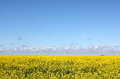 Flowering yellow field and blue sky big agricultural farmland of rapeseed blossoms some clouds above horizon Stock Photo