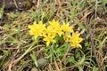 Flowering yellow gagea