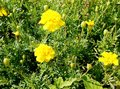 Flowering yellow marigolds on the flowerbed. Royalty Free Stock Photo