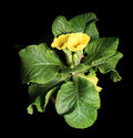 Flowering yellow primula on the black background Royalty Free Stock Photography
