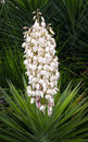 Flowering yucca plant a beautiful displays many white flower blossoms on a tall spike in summer Royalty Free Stock Photography