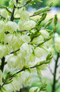Flowering yucca plant izote flowers of the gigantea Royalty Free Stock Photo