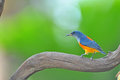 Flowerpecker Orange-gonflé Photographie stock