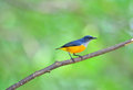 Flowerpecker Orange-gonflé Image libre de droits