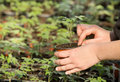 Flowerpot with seedling young girl s hand holding a small Stock Image