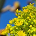 Flowers of aeonium undulatum Royalty Free Stock Photo