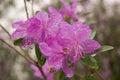 Flowers Altai Maralnik In Spri...