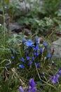 Flowers Altai region Russia mountain landscapes