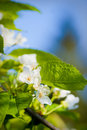 Flowers of apple tree Stock Photo