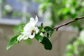 Flowers of apple tree green leaves white petals Stock Photography