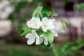 Flowers of apple tree green leaves white petals Stock Images