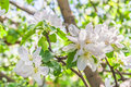 Flowers of an apple tree in spring day the background is blurred Stock Images