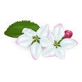 Flowers of an apple tree on a white background