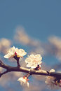 Flowers of the apricot blossoms on a spring day Stock Photography