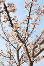 Flowers of apricot blue sky and Stock Images