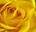 Flowers art closeup yellow rose floral background Stock Photos