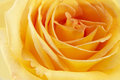 Flowers art closeup yellow rose floral background Stock Photography