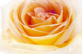 Flowers art closeup yellow rose floral background Stock Images