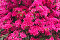 Flowers the background of pink of bougainvillea glabra Royalty Free Stock Image
