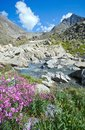 Flowers on the bank of a mountain stream Royalty Free Stock Photo