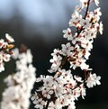 Flowers of a beautiful blossoming cherry tree Royalty Free Stock Photo