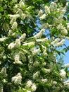 Flowers of bird cherry tree Stock Photos