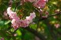 Flowers Of Blooming Japanese C...