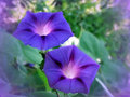 Flowers blue bindweed photo garden on background of green leaves Stock Photos