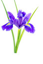 Flowers blue purple irises with leaves isolated white close up on background Royalty Free Stock Image