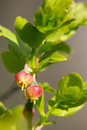 Flowers blueberries blueberry with fresh leaves close up on blurred background Royalty Free Stock Photo