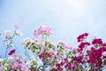 Flowers Of Bougainvillea