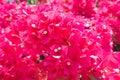 Flowers Bougainvillea naked (Bougainvillea glabra) Stock Image