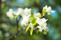 Flowers  branch of an apple tree Stock Photos