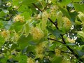 Flowers on a branch of a linden tree Royalty Free Stock Photo
