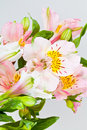 Flowers bunch from white and pink alstroemeria several Royalty Free Stock Images