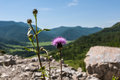 Flowers burdock mountain background Royalty Free Stock Photo