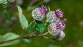 Flowers of burdock Royalty Free Stock Photo